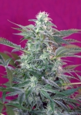 big_foot_sws36fem